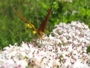 butterfly, walk elderberry, meadow
